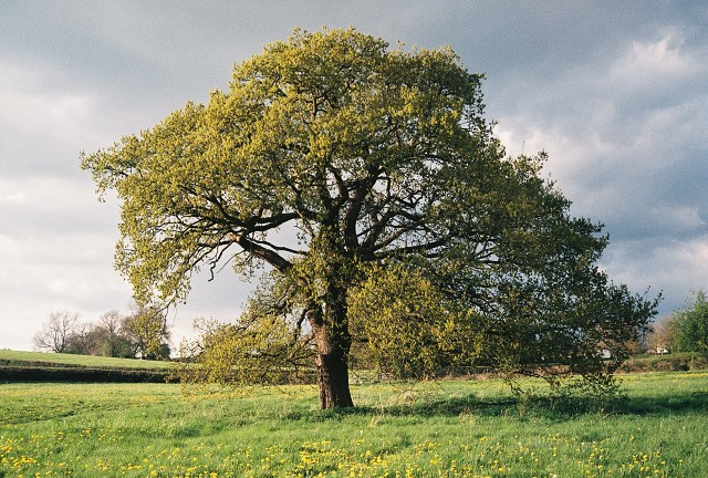 Makeney Tree.JPG